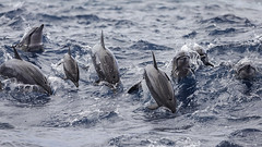 Dolphins off the Taiwan Coastline 2017 (iesphotography) Tags: china asia asian chinese photo photography taiwan taiwanese travel travelling worldphotography dolphins