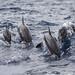 Dolphins off the Taiwan Coastline 2017
