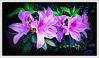 Never forget that the most powerful force on earth is love. (Nelson Rockefeller) (boeckli) Tags: flowers flower flora fleur garden garten pink rosa azalea azalee topaz topazstudio textures texturen texture textur photoborder outdoor australia awardtree magicunicornverybest