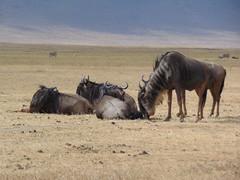 DSC00434 (francy_lioness) Tags: safari jeep animals animali ippopotami leone savana gnu elefante iena pumba tanzaniasafari ngorongorocratere gazzella antilope leonessa lioness facocero
