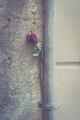The dead rose (dono heneman) Tags: dead mort morte rose fleur flower végétal vegetal végétation tuyau gouttière pipe gutter rue street ville city urbain urbaine urban mur wall barcelone catalogne espagne pentax pentaxart pentaxk3 ligne line