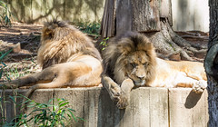 National Zoo (davebentleyphotography) Tags: davebentleyphotography dczoo nationalzoo 2017 animals canon canon60d dc smithsonian wildlife zoo