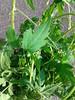 உழிஞை-(Cardiospermum halicacabum) 3 (Dr.S.Soundarapandian) Tags: vine taminadu balloon hydrocele rheumatism scrotum medicinal herbal india paste poultice