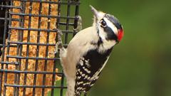 Hot Suet (blazer8696) Tags: 2017 brookfield ct connecticut ecw obtusehill t2017 table usa unitedstates img7176 picidae piciformes picoides woodpecker