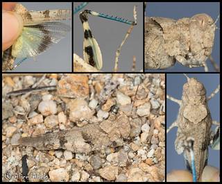 Fontana Grasshopper (Trimerotropis fontana) - Female