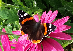 Red Admiral. (neilh156) Tags: redadmiral butterfly echinaceapurpurea echinacea samsunggalaxyj5