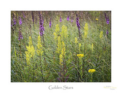 Golden Stars (baldwinm16) Tags: forestpreserve il illinois september environment habitat midwest nature naturepreserve prairie season sunset glacialkame natureofthingsphotography