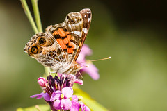 Painted Lady [Explored] (Bob Gunderson) Tags: butterflies california fortmasonwestbattery insects northerncalifornia paintedlady sanfrancisco vanessacardui wildlife coth coth5