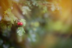 Autumn.. (KissThePixel) Tags: red green september autumn autumncolours autumnlight light bokeh macro nikon nikondf sigma sigmaart berry berries