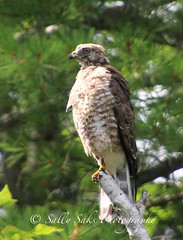 IMG_4169brwnghwkcopyg (Sally Knox Sakshaug) Tags: select nature outdoors alive broadwinged hawk perched stump tree feathers face beak eyes tail claw feet breast