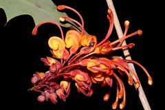 Grevillea aurea (andreas lambrianides) Tags: grevilleaaurea proteaceae australianflora australiannativeplants grevillea northernterritory wildaustralianflowers