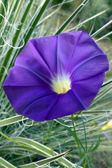 Morning greeting in royal purple (jimsc) Tags: arizona pimacounty tucson catalina jimsc morningglory flower bloom blossom wildflower flora purple ngc summer august desert sonorandesert monsoon panasonic lumix fz200