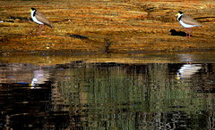 LAPWINGS,  REFLECTIONS and SQUIGGLES (Lani Elliott) Tags: nature naturephotography lanielliott bird birds lapwings maskedlapwings gold golden reflection reflections squiggles lines water rocks landscape tasmania australia light bright superb fantastic beautiful incredible