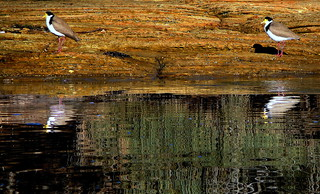 LAPWINGS,  REFLECTIONS and SQUIGGLES