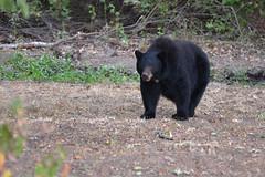 DSC_7322 Momma Black Bear (futzr.fotoz) Tags: fort simcoe state park yakima county washington north american black bear oak apple trees alert alarm acorns