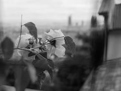 Nostalgie (nathaliedunaigre) Tags: roses flowers bokeh noiretblanc nb blackwhite bw lyon town ville natureurban nostalgie