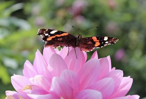 Berlin Butterfly