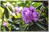 Rhododendron (günter mengedoth) Tags: rhododendron alpenrose flower flowers nature saariysqualitypictures beyondbokeh
