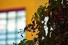 Wilder Wein (Pixelchen1) Tags: nikon macro 105mm f28 wein water tropfen drops rain colour bokeh red autumn yellow