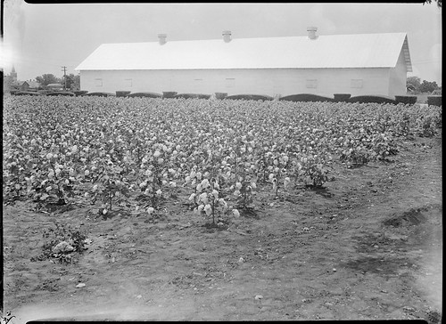 SMDR Photographic Negatives Collection, [1930s][Bagley Cotton]