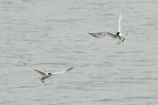 DSC_4751.jpg Elegant Terns, Moss Landing