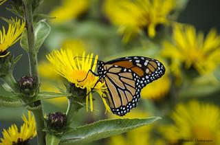 DBC_8305W Papillon Monarque/Monarch butterfly