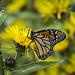 DBC_8305W Papillon Monarque/Monarch butterfly (Danielle Champagne) Tags: insectes parcdesrapides insects papillons butterflies monarque monarch