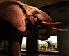 Elephant & African Buffalo (JFGryphon) Tags: africanelephant africanbuffalo carlakeley hallofafricanmammals akeleyhallofafricanmammals amnh moderntaxidermy taxidermy ivory
