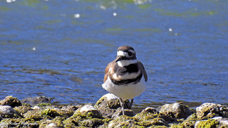 Killdeer at the shoreline