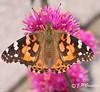 PAINTED LADY BUTTERFLY | PAPILLON BELLE DAME | MONTREAL | QUEBEC | CANADA | 2017 (J.P. Gosselin) Tags: painted lady butterfly | papillon belle dame montreal quebec canada 2017 canon7dmarkii canon 7dmarkii 7d markii mark ii canoneosrebelt2i canoneos7d canon7d eos7d canoneos eos rebel t2i ph:camera=canon bachelor button gomphrena pulchella fireworksglobe amaranth globosa amaranthaceae