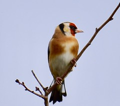 Goldfinch at Titchmarsh Nature Reserve, Aldwincle. Northants. Northants UK (Ian J Hicks) Tags: