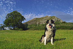 The Great Outdoors (Mike & Indy) Tags: laddie dog dogs bordercollie llanfairfechan northwales proud pick up proudtopickup explore