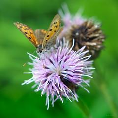 small copper, pink thistle (Simon[L]) Tags: butterfly smallcopper square canon50mmf18ltm serenar