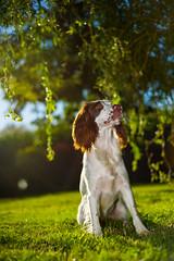 Rupert and the morning sunshine. (TrevKerr) Tags: dog puppy portrait spaniel englishspringerspaniel highspeedsync nikon d3s nikonsb900