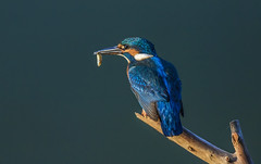 Kingfisher, female with the fish 2 (Bojan Žavcer) Tags: kingfisher wildlife nature alcedoatthis canoneos7dmarkii ef600mmf4lisusm ngc