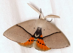 Gastrophora henricaria (Victor W. Fazio III) Tags: gastrophorahenricaria geometridae moth lepidoptera australia tinonee inaturalist nationalmothweek