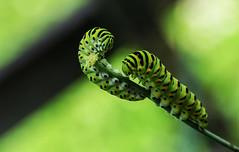 Abgeknabbert (eulenbilder) Tags: dill raupen schwalbenschwanzraupen garten grün leben smileonsaturday bizzarebugs