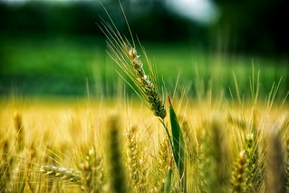 Nature Cereal Plant Close-up Agriculture Plant Grass Scenics Harmony Landscape_photography Green Color Beauty In Nature Grass Agriculture Rural Scene Summertime Summer Nsnfotografie Field Landscape_Collection Tranquility Freshness Nature Landscape Photogr