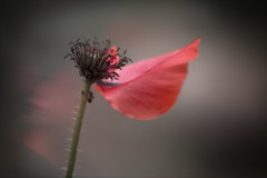 Das letzte Blatt im Wind... (angelika.kart) Tags: natur pflanzen blüte blumen blätter mohn sommer wind