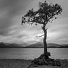 Loch Lomond Tree - Square Crop (roseysnapper) Tags: bw lochlomond milarrochybay nikkor2470f28 nikond810 blackandwhite loch scotland trossachs lake landscape monochrome mountain outdoor tranquil tree water