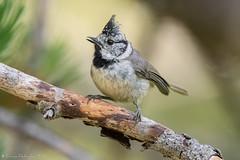 Mésange aisée. (DorianHunt) Tags: crestedtit birds bokeh spain july 2017 nikond500 sigma 150600mm wwwphotologisticscom