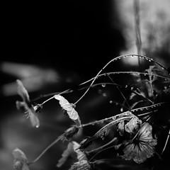 flowers (s_inagaki) Tags: flowers raining rain raindrops tokyo japan snap monochrome blackandwhite bw