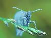Small Heath (pen3.de) Tags: wildlife natur tier insekt butterfly schmetterling wiesenvögelchen grashalm grasähre morgens tropfen morgentau fühler makro morgenlicht focusbkt