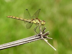 Dragonfly (PhotoLoonie) Tags: dragonfly insect summer wildlife nature wings macro commondarter bokeh