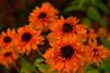 DSC09343 -1BlackEyedSusan2 (FanzFlames) Tags: lilies coneflowers blackeyedsusan sunflower butterflyweed clematis iris