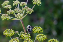 Bumble Bee on the MST 2 (joehoeper) Tags: avl westernnorthcarolina nationalforest appalachianmountains pisgahnationalforest brevard northcarolina 828 naturephotography blueridgemountains blueridgeparkway