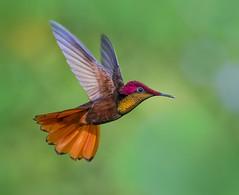 Ruby Topaz Hummingbird. Tucusito Rubi. Chrysolampis mosquitos. San Pablo Retreat and Guest House, Valencia,  Trinidad. (pedro lastra) Tags: winner alt
