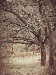 "Winter oaks II • <a style=""font-size:0.8em;"" href=""http://www.flickr.com/photos/44919156@N00/36079552384/"" target=""_blank"">View on Flickr</a>"