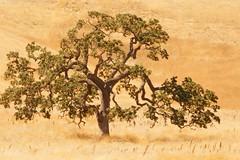 No Smoking - High Fire Danger (nedlugr) Tags: california ca usa santaynezvalley tree oaktree drygrass dryasdust dry santabarbaracounty omot