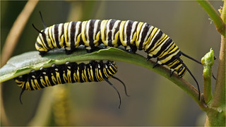 Caterpillars monarch butterfly
